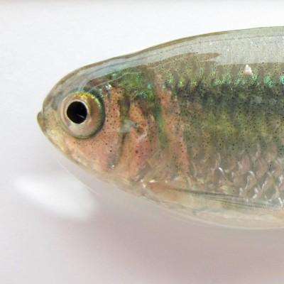 Fish pigmentation (Nicolas Rohner)